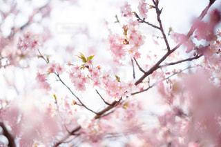 河津桜の写真・画像素材[1020719]