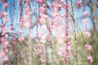 枝垂れ梅の写真・画像素材[1020720]