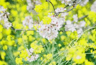 フィールド内の黄色の花の写真・画像素材[1270878]