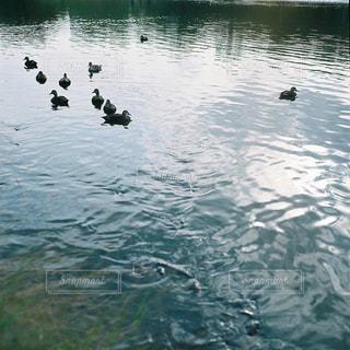 水体でカモメの群れが泳いでいます。の写真・画像素材[1616447]