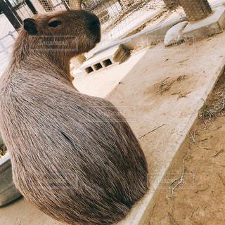 カメラを見て齧歯動物の写真・画像素材[945748]