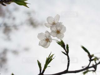 空と桜の写真・画像素材[945853]