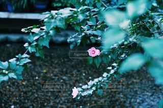 Strong Flower.の写真・画像素材[946192]