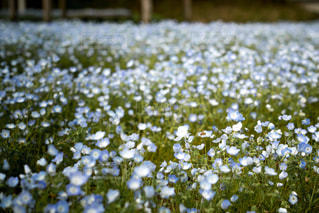 ネモフィラの花畑の写真・画像素材[1274978]