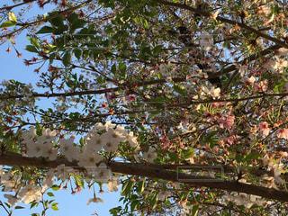 葉桜の写真・画像素材[946773]