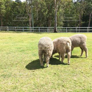 緑豊かな緑のフィールドの上に羊の立っているグループ - No.948595