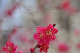 梅の花の写真・画像素材[1036595]