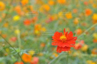 赤い花の写真・画像素材[1092912]