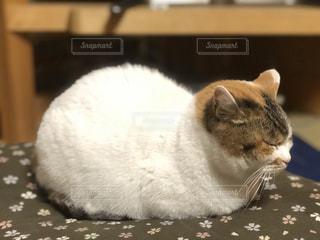 おまんじゅう猫の写真・画像素材[947243]