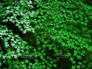 森の中の緑の植物の写真・画像素材[958691]