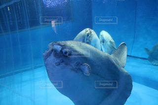水面下を泳ぐマンボウの写真・画像素材[951328]