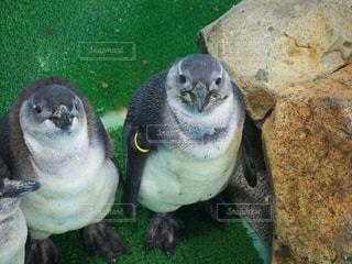 ペンギンのアップの写真・画像素材[951709]