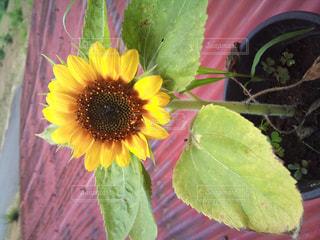 屋根の上の向日葵の写真・画像素材[951711]