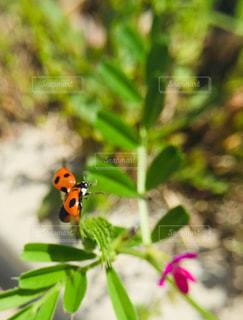 てんとう虫の飛び立ちの写真・画像素材[2089017]