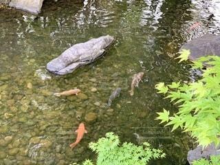 悠然と泳ぐ錦鯉の写真・画像素材[4631280]