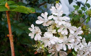 白い花の写真・画像素材[1234928]