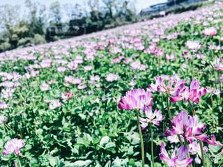 春。レンゲの花畑がありました。の写真・画像素材[2100780]