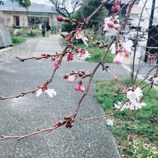 しだれ桜の写真・画像素材[2100782]