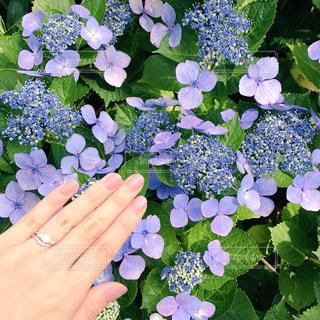 アジサイと結婚指輪の写真・画像素材[948462]