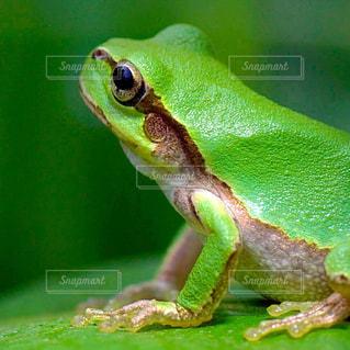 緑のカエル - No.948558