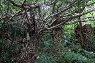 西表島の亜熱帯林の写真・画像素材[948560]