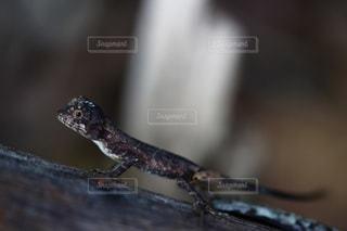キノボリトカゲの写真・画像素材[948566]