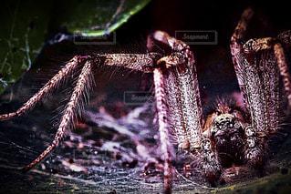 大蜘蛛の写真・画像素材[949203]