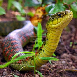 毒ヘビ ヤマカガシの写真・画像素材[949206]