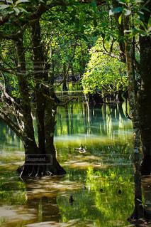 マングローブの森の写真・画像素材[951886]
