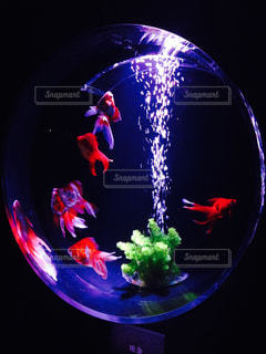 幻想的な金魚遊泳の写真・画像素材[954521]
