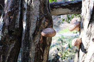 椎茸の写真・画像素材[949482]