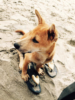ビーチで出会った犬@ベトナムの写真・画像素材[965312]