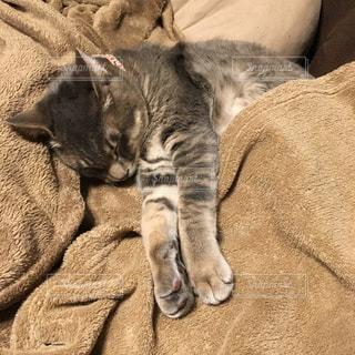 毛布の中で寝る猫の写真・画像素材[950138]