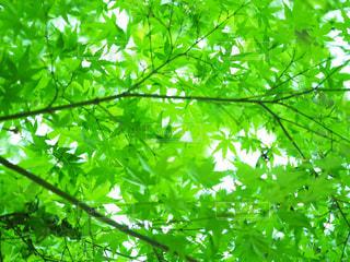 新緑の写真・画像素材[951192]