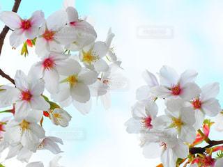 桜の写真・画像素材[951196]