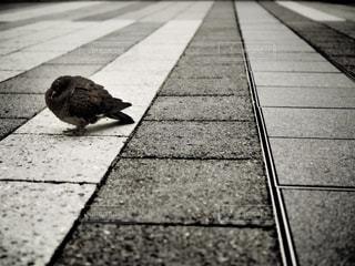 冬の鳩の写真・画像素材[951197]