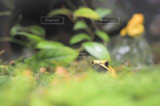 カエルの写真・画像素材[954128]