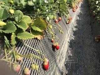 近くに果物の木からぶら下がってアップの写真・画像素材[1012563]
