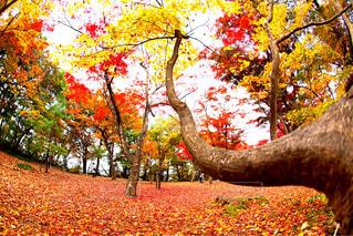 大きな木の写真・画像素材[952157]