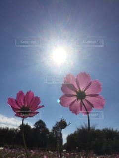 コスモス、光を浴びての写真・画像素材[956145]
