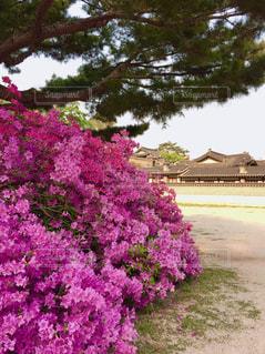世界遺産 昌徳宮とツツジの写真・画像素材[950635]