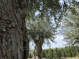 森の大きな木の写真・画像素材[951097]