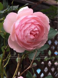 綺麗なバラの写真・画像素材[953453]