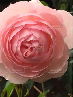 綺麗なバラの写真・画像素材[953456]