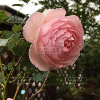 綺麗なバラの写真・画像素材[953457]