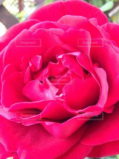 真っ赤な薔薇の写真・画像素材[956126]