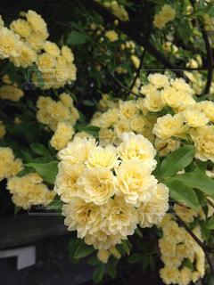 黄色い木香薔薇の写真・画像素材[956127]