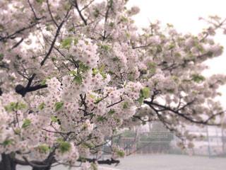 校庭の桜 - No.959256