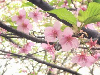 河津桜の花 - No.981754