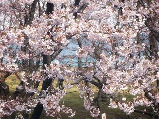 海沿いの桜 - No.983542